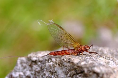 Montage de la semaine: réalisation d'une mouche sèche, l'ecdyonurus.